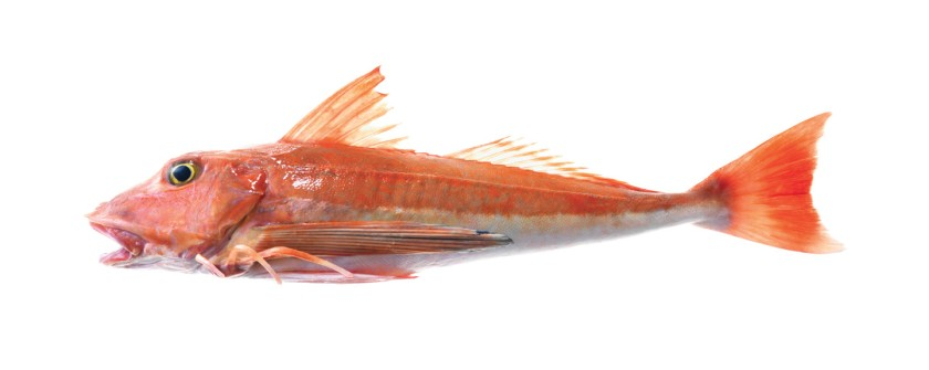 red-gurnard-nz-fish-species